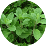 Sweet Marjoram (Origanum majorana) Leaves and flowering sprigs are popular in Greek and Italian meat dishes, soups, stuffings, tomato sauces and pasta, where they are best used towards the end of the cooking process. It was once believed that marjoram helped to nurture love.