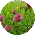 Red Clover (Trifolium pratense) Perennial with trefoil leaves and pinky red flowers. Good weed suppressor. Height: 10-45cm Flowers: May to September The trifolium can help to break up heavy soil over time, plus it adds nitrogen to the soil, meaning healthy plants all round!